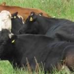 Danske køer er registreret i husdyrbrugsregistret, som myndighederne ikke vil udlevere. Foto: Nils Mulvad.