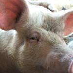 Fødevarestyrelsen skjuler de landbrugsvirksomheder, som afviser test af MRSA-svin.