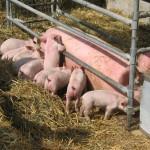 Svinebrug uden MRSA slipper for stigmatisering. Hele svienproduktionen er i dag under mistanke.