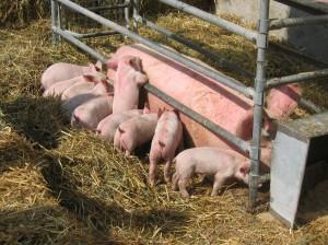 Svinebrug uden MRSA slipper for stigmatisering. Hele svineproduktionen er i dag under mistanke.