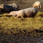 Professor Frank Aarestrup har tidligere peget på, at MRSA kan bekæmpes, hvis man forbyder handel med de inficerede dyr. I dag er det muligvis for sent, frygter han.
