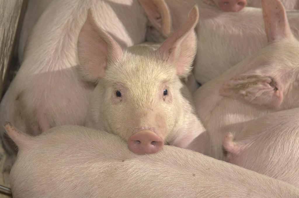 Frank Aarestrup mener, at MRSA kan bekæmpes, hvis man forbyder handel med de inficerede dyr.